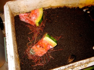 compost worms and watermelon